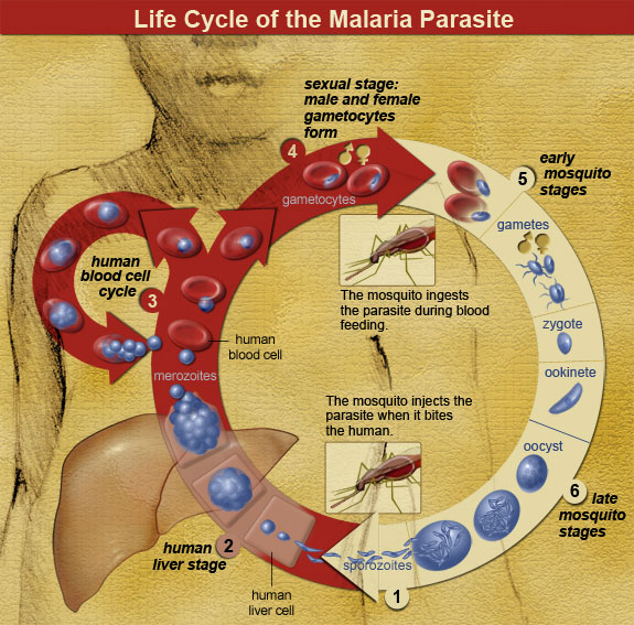 Diagram shows the transmission and replication pathways of the malaria parasite through its mosquito vector.