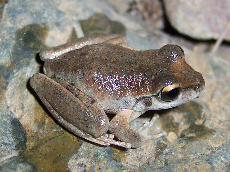 Gray-brown frog with knobby, shiny skin sits on rocks