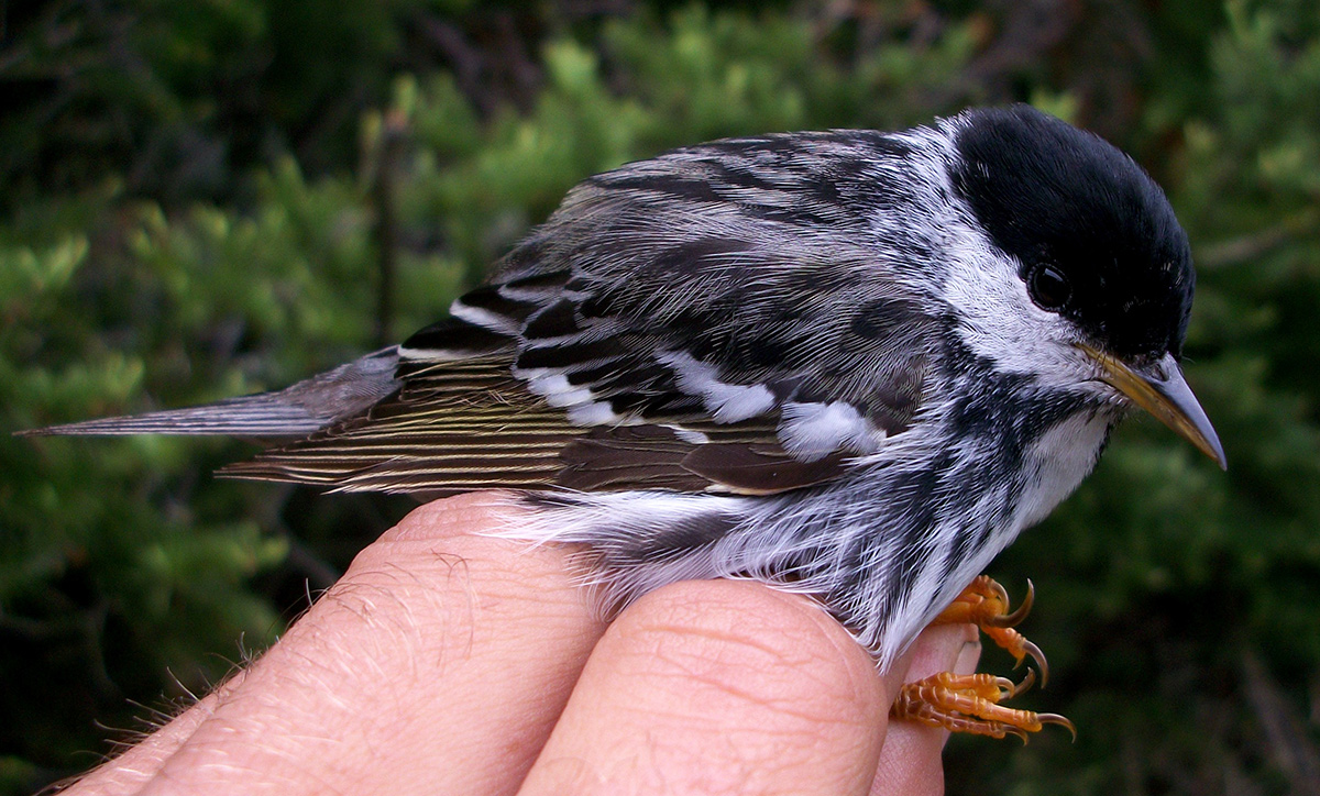 Close-up of a squash ball-sized gray bird held in a persons hand highlighting the bird's perching feet.