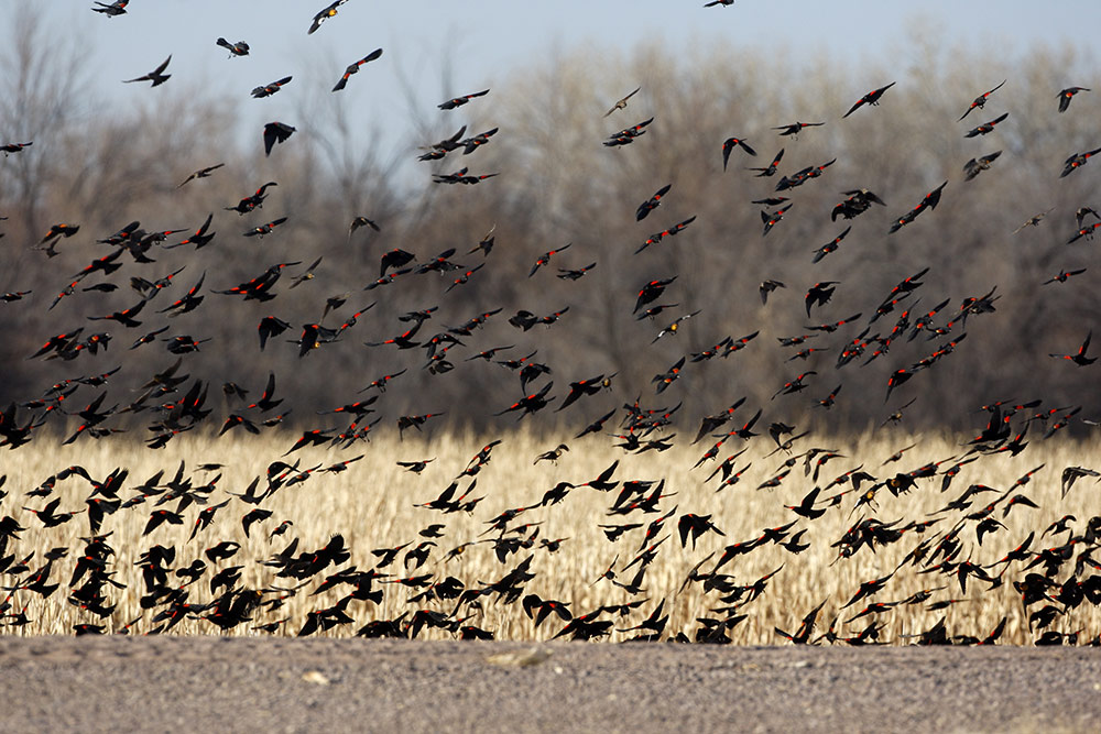 Photo of a dense flock of blackbirds with distinct red marks on the wings taking flight near a dormant prairie.