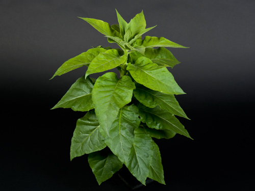 Smokin' hot! Altered tobacco plants point toward race-car photosynthesis