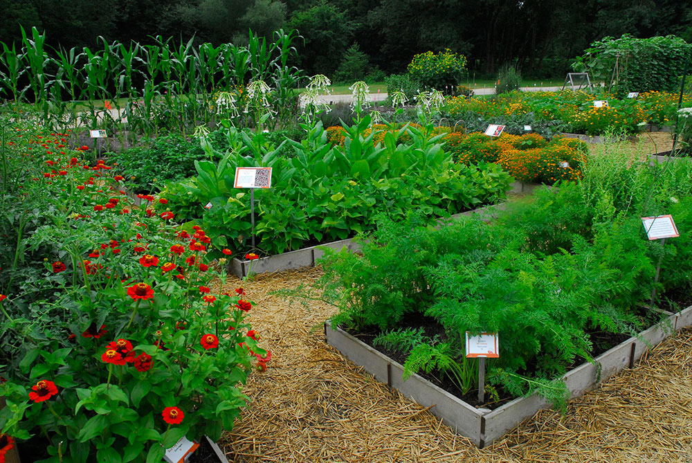Photo of the Diversity Garden at Heritage Farm with raised beds of herbs, greens, corn and flowers.