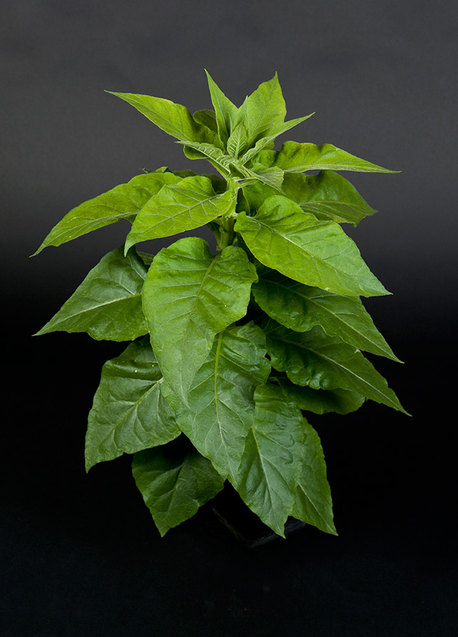 Photo of a healthy, green tobacco plant set against a high-contrast black background.