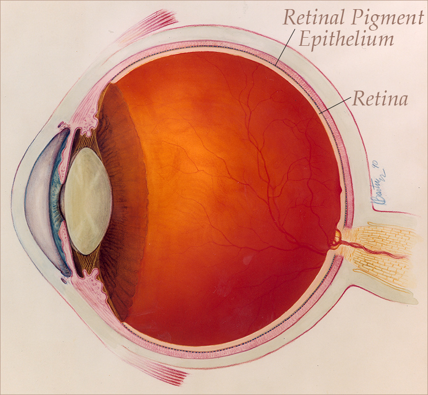 Artist's drawing of the eye cross-section showing the detail of the lens' engineering and the pigment layer that surrounds the retina.