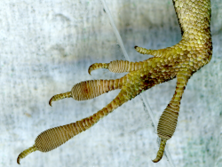 left hind foot of Anolis carolinensis