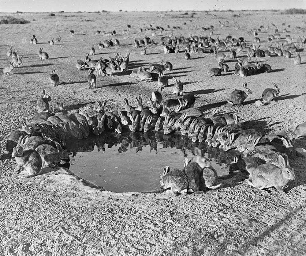 lack and white photo of countless rabbits gathering around a watering hole on a scorched earth grassland.