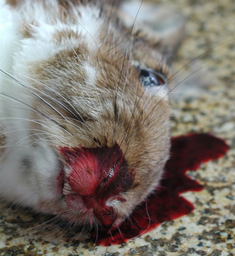 Photo of a dead rabbit lying on a granite surface, blood covering nose and pooling underneath.