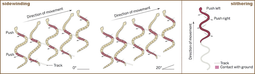 Two illustrations of snake locomotion compare direction of motion and ground contact of 'sidewinders' and 'slitherers.'