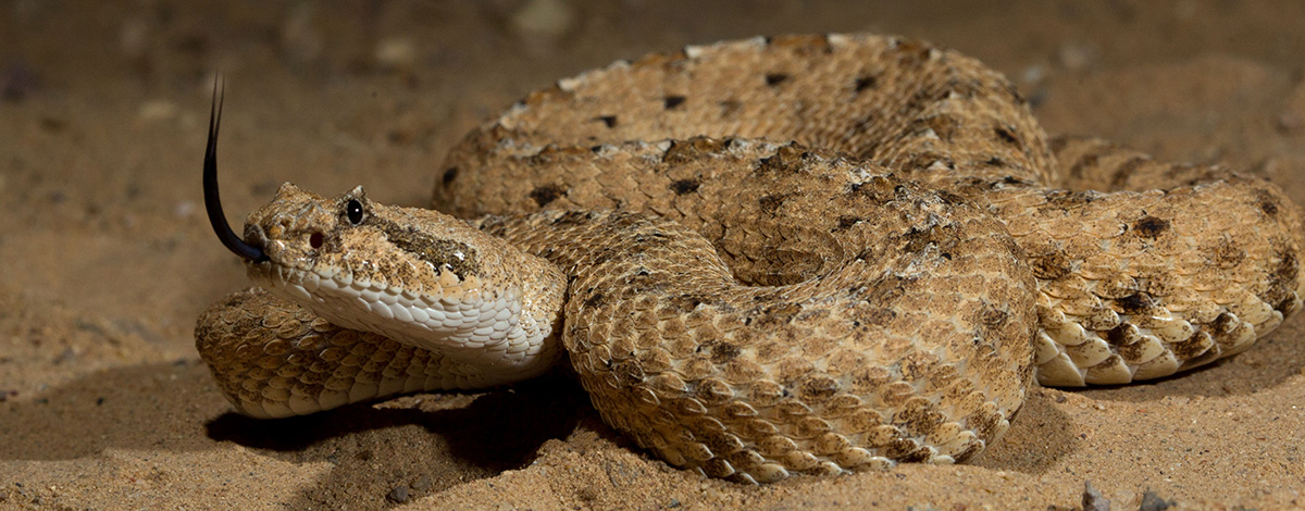 Photo of a sidewinding rattlesnake coiled with head up and tongue out.