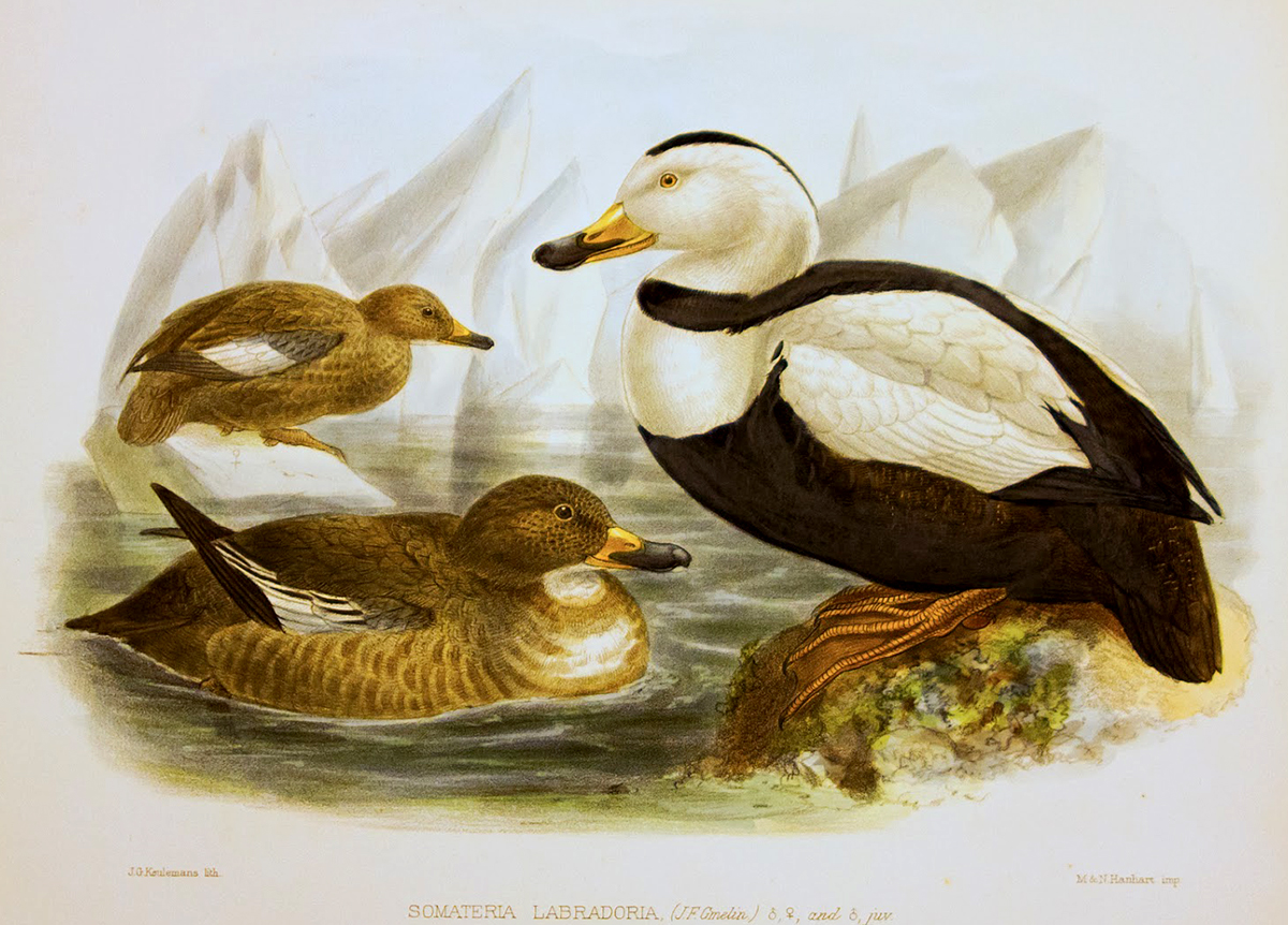 Illustration of three waterfowl -- a black and white male, brown female and juvenile -- wading in chilly waters and perched on floating ice.