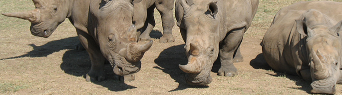 Photo of five white rhinos huddled together on a pasture, two lying down.