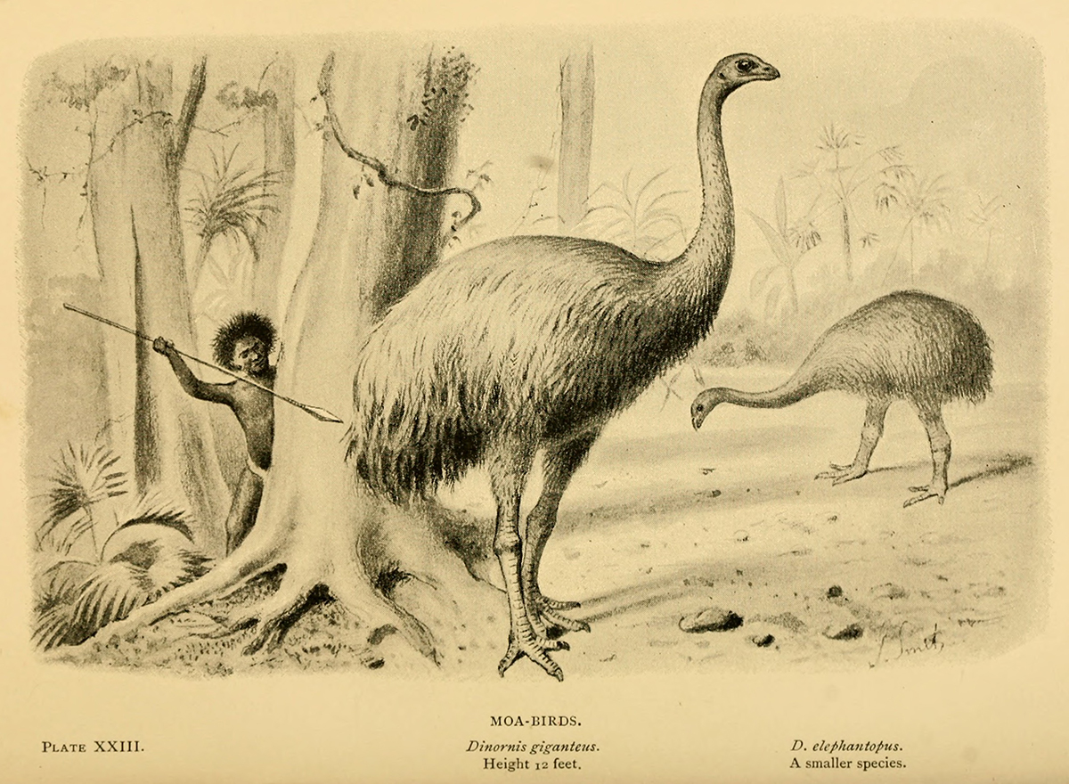 Drawing of two large ostrich-like birds in a tropical landscape, unaware of the looming Maori hunter brandishing a spear from behind a tree.