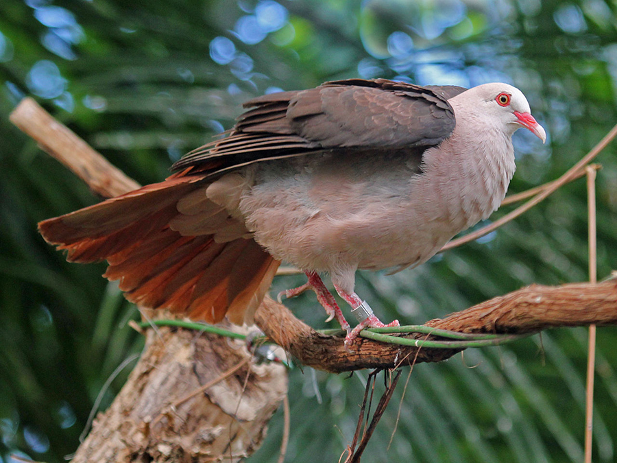Photo: Short, squat pigeon with wings flexed; tail feathers are bright pink, breast pinkish-white, bird has band on leg.