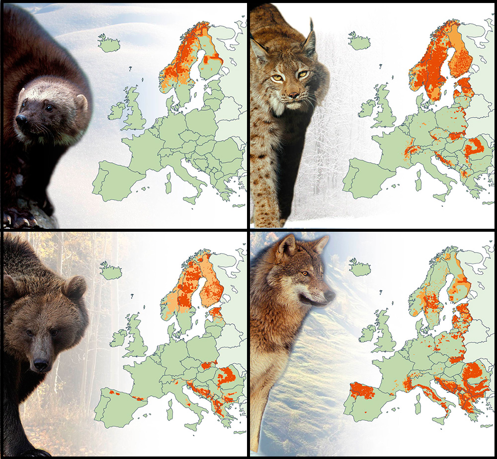 Four maps showing the spread of large carnivores across Europe, with images of a bear, wolf, lynx and wolverine. Bears, lynx and wolverines appear concentrated in Fennoscandinavia, and wolves reside primarily across the Balkan countries and eastern Europe.