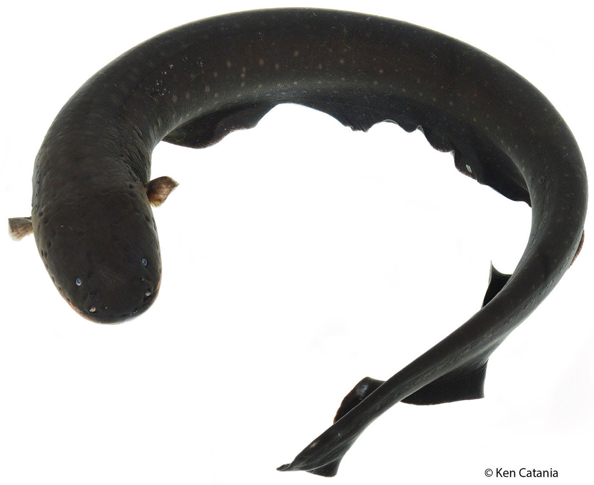 Photo of an electric eel, set on a white background, its smooth body coiled, 2 tiny fins at front, no fins on top;  with a tiny tail fin.