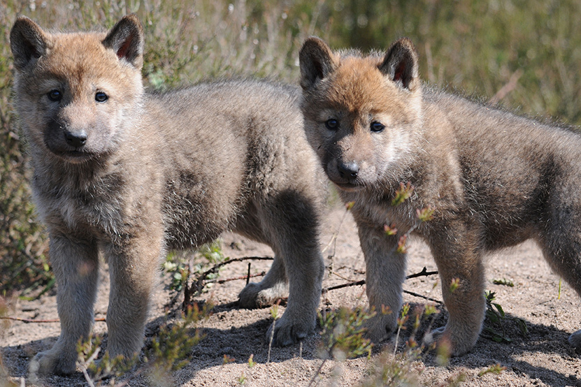 Photo of two fuzzy wolf pups standing in the sun in a grassy opening