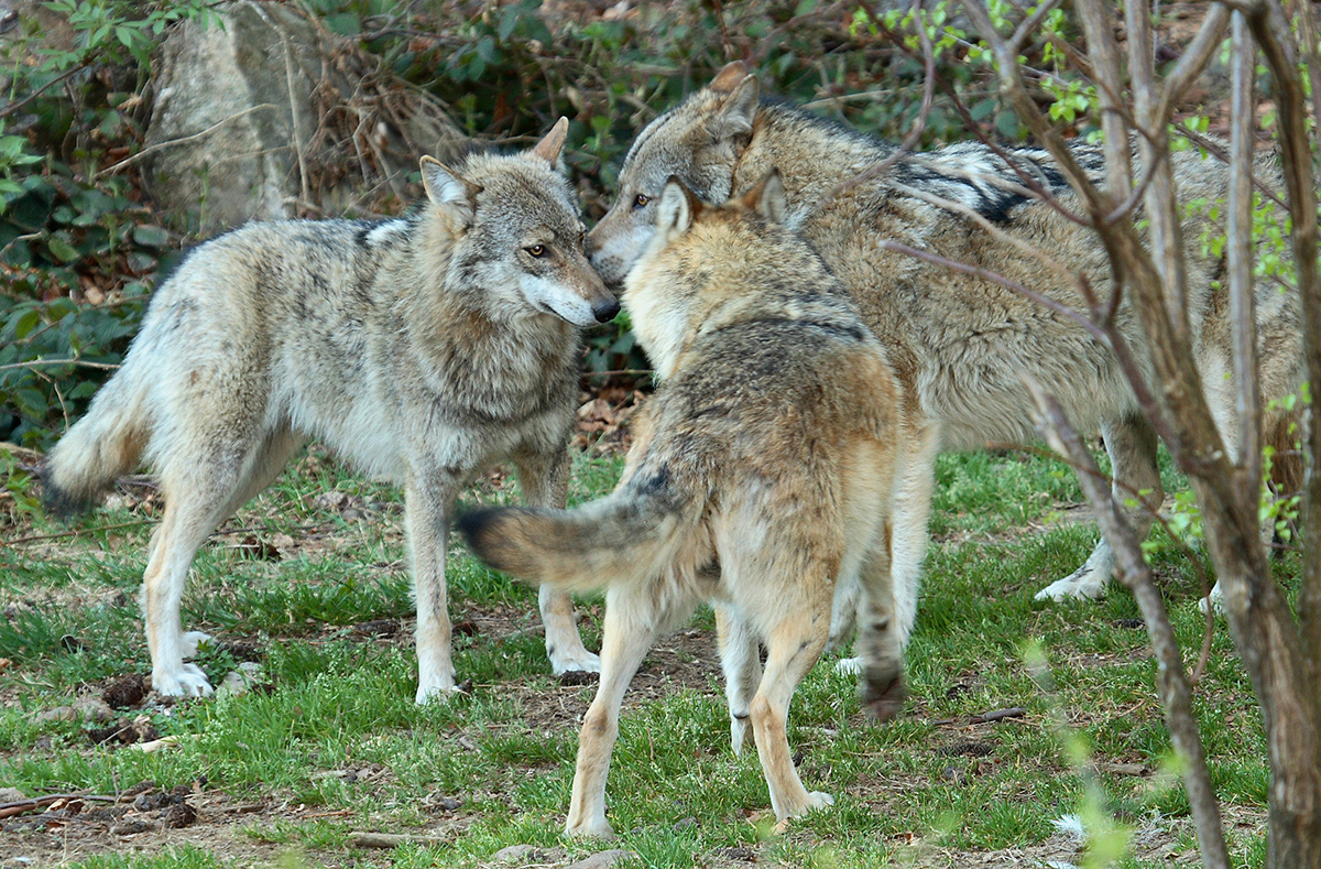 Photo of three wolves greeting one another in a forest opening. Wolves do eat livestock, and in Europe (much as in the United States), problem wolves can be shot even though they are protected.