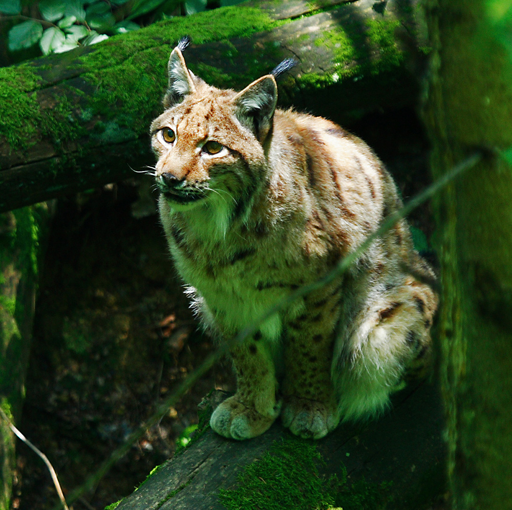 A Eurasian lynx with a thick fur coat perches on a mossy, downed tree trunk, gazing toward a distant object, looking ready to strike.