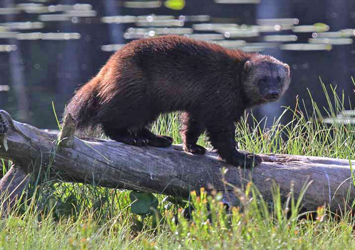 Photo of a wolverine standing on an overturned tree near a pond with lily pads.
