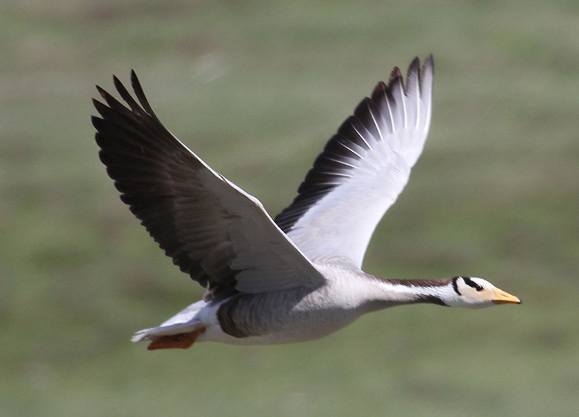 Photo of a white goose with black-tipped wings in flight over the Mongolian Steppe.