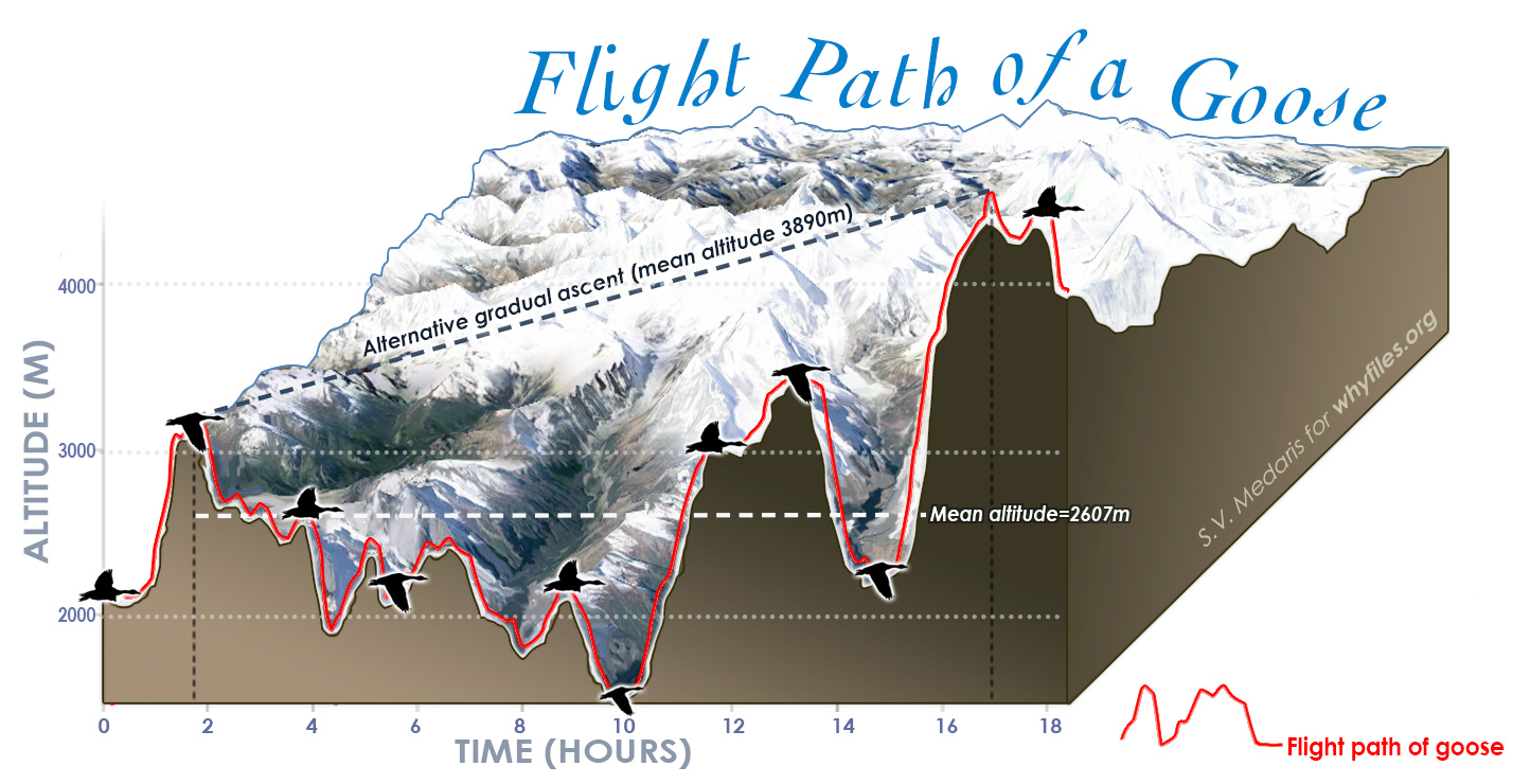 3-D line graph showing altitudinal change in a single goose's flight over a stretch of mountainous terrain. The goose's flight closely resembles a cross-section of peaks and valleys due to the bird's affinity for staying near the ground surface.