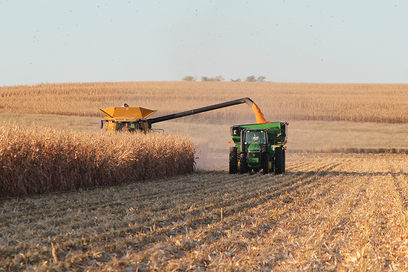 A pastoral scene with a large corn harvester rummaging through a field, spitting corn kernels from a side vent.