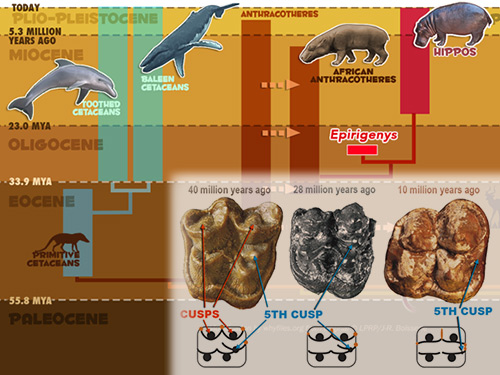 Fossil find supports hippo-whale-dolphin ties