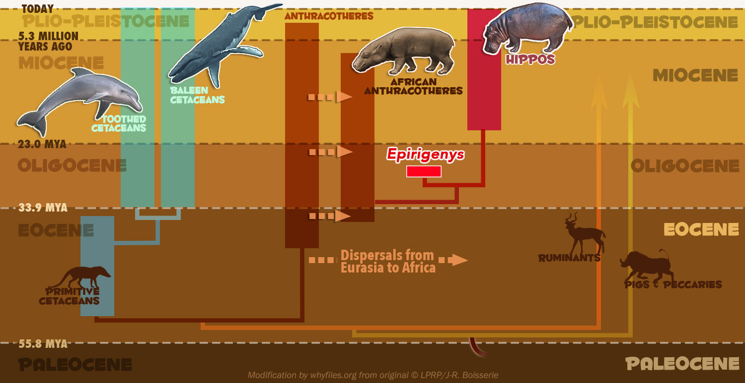 Illustrated tree of life showing the diversification of cetaceans and the precursors to the modern hippo that started in the Eocene