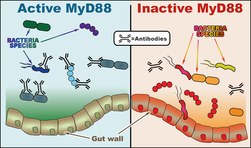 Figure showing the effect of T Cell activity on gut microbes where antibodies in the 'active' phase attach to pathogenic bacteria and block them from penetrating the gut lining.