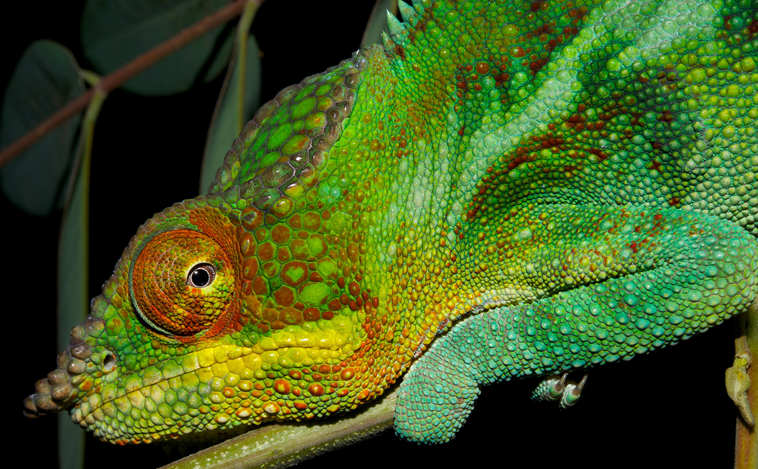 Headshot of the panther chameleon clutching a branch, peering into the camera with its protruding eye.