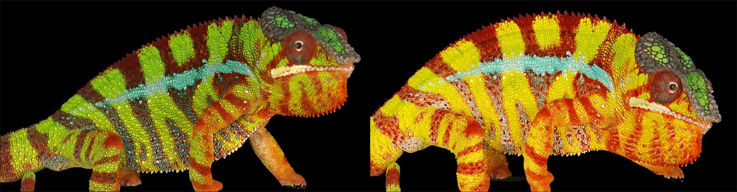 Side-by-side photo comparison showing the panther chameleon in the green, relaxed phase next to the yellow, excited phase. The calm chameleon's green color turns to yellow; the dark reddish-brown stripes turn brilliantly red and orange, broadcasting an agitated demeanor.