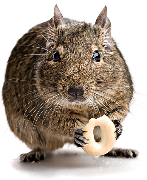 Photo of a chubby brown mouse holding and nibbling on a donut-ringed snack.
