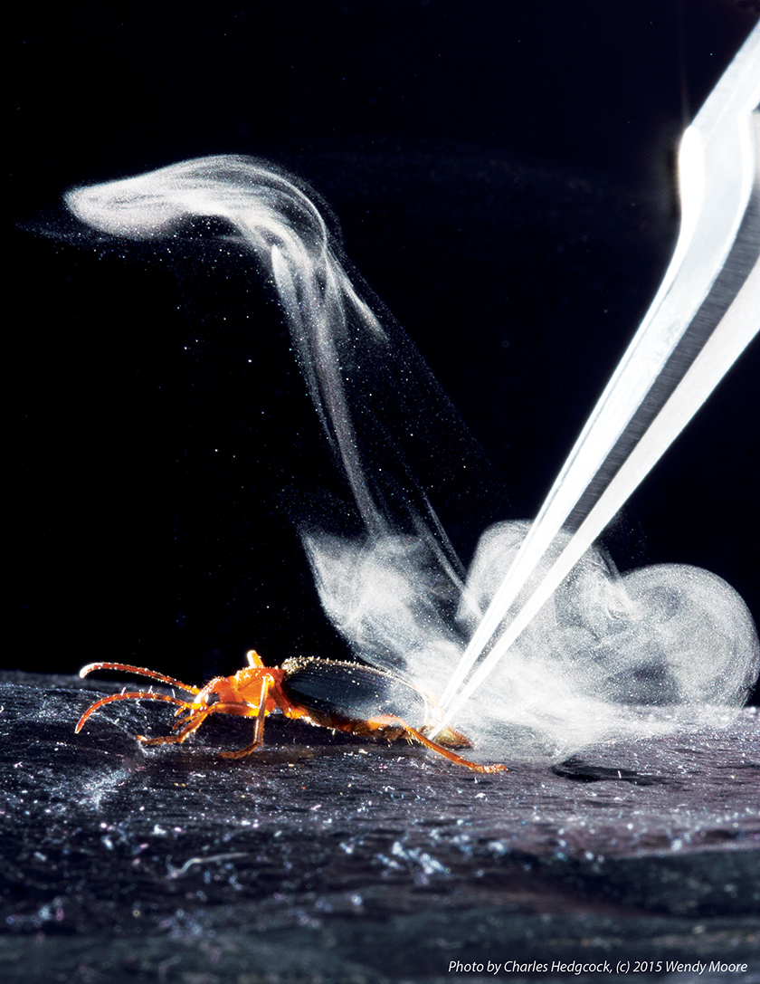 Photo of a bombardier beetle antagonized with a pair of tweezers to stimulate the beetle's steamy defensive spray.