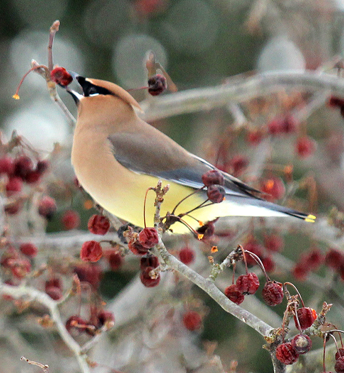 Photo of a beautifully-colored cedar waxwing bird perched on a thin branch and gripping a ripe red berry with its beak.