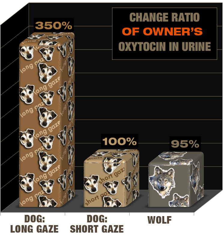 Bar graphs of oxytocin change ratio for owners and dogs/wolves during experiment one, with long gaze dogs and their owners showing a large change in oxytocin in their urine.