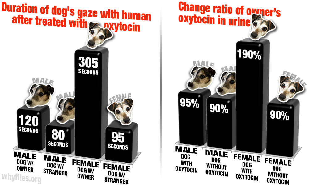 Left: bar graph of the duration treated and untreated male and female dogs spend looking into their owner's eyes, with only treated female dogs spending significantly more time gazing. Right: Because of the longer gaze, owner's of treated, female dogs exhibit heightened oxytocin levels.