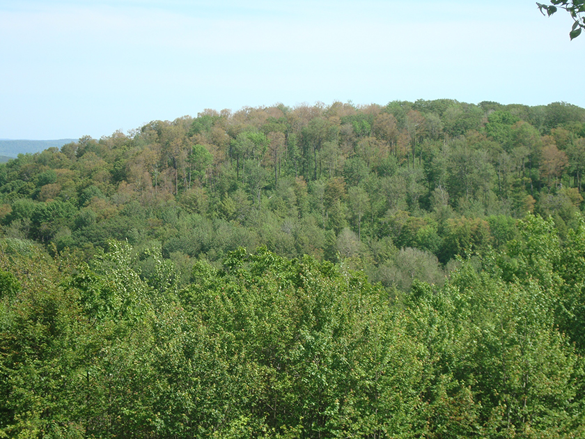 Landscape photo of a forested hill with several trees in the canopy wielding dead or dying leaves, but not all trees