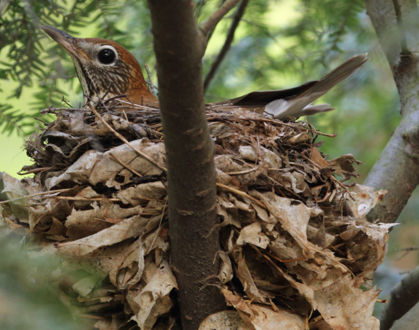 Photo of a hazel bird sitting comfortably in a thick nest of leaves and twigs cradled in a hemlock tree.