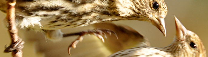 close-up of 2 Pine Siskins, beak to beak, talons outstretched in aerial combat