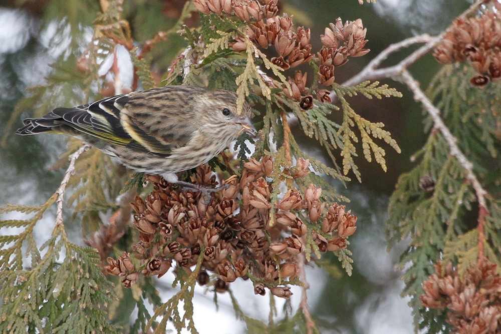 Photo of a pine siskin perched on a cedar branch eating a small seed.