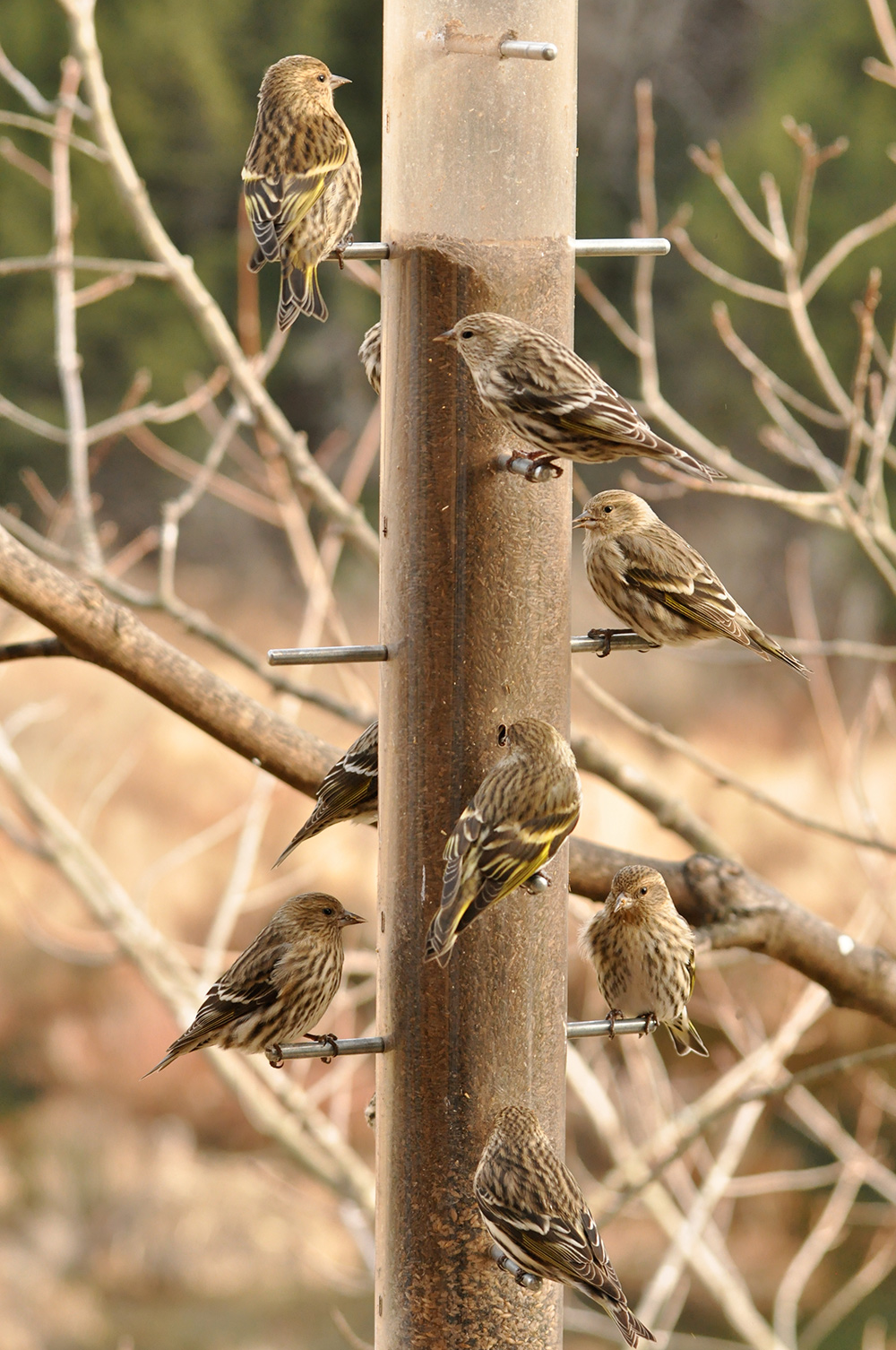 Photo of several pine siskins perched around a vertical bird seed feeder.