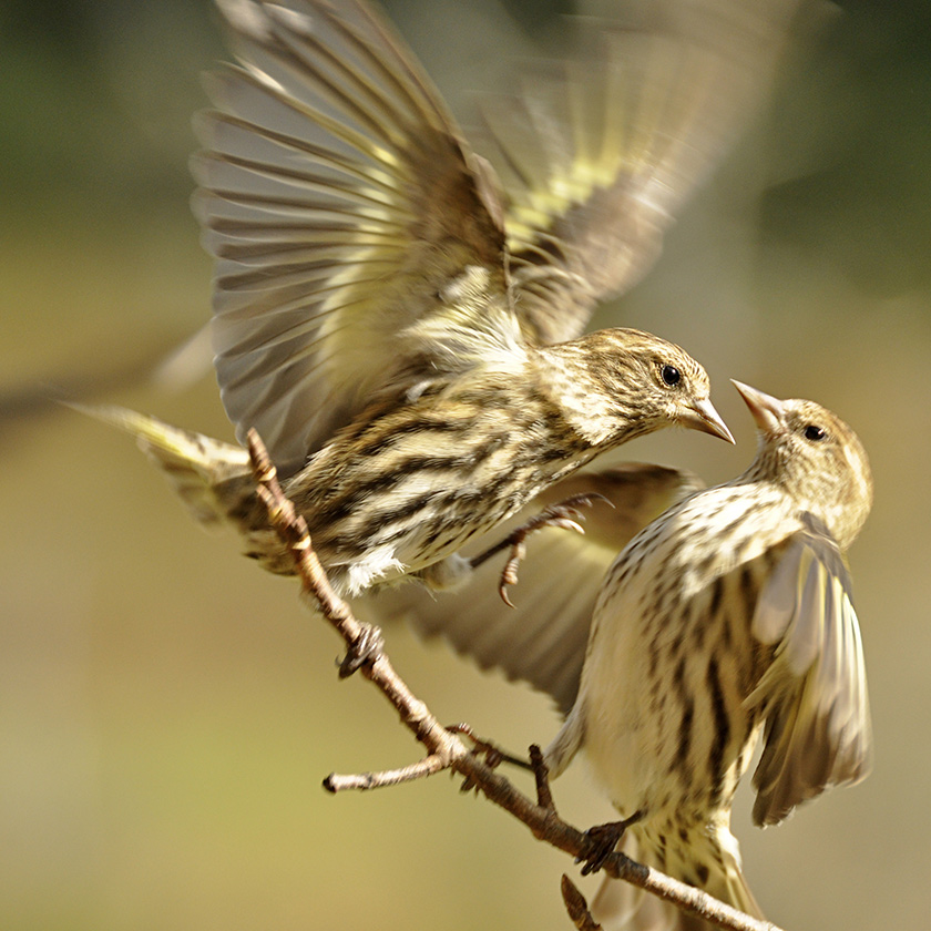 Photo of two pine siskins facing each other on a slender branch, one of the birds lashing out while the other puffs out its breast feathers