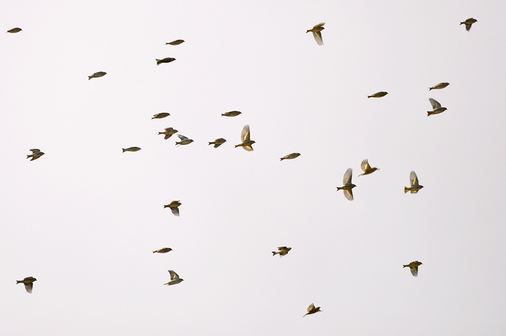 Photo of a flock of pine siskin on the wing, likely in search of a meal.