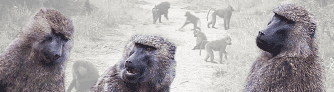 3 baboons appear to be communicating, with bigger group in background