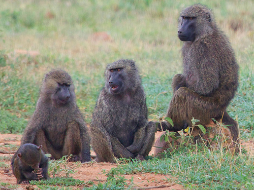 How baboons decide