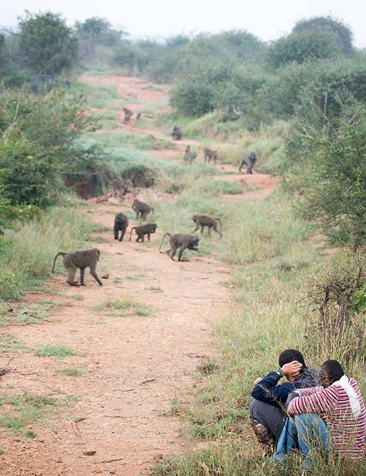 Two researchers watch about 12 baboons move up a brushy slope with red gravel underfoot.