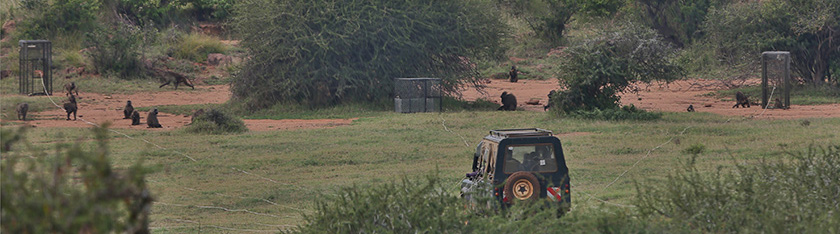 Land Rover in foreground has cables stretching to 3 wire cages in background. About 12 baboons are amidst the cages. 1 cage holds a baboon.