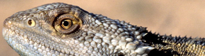 "photo of dragon clutching a dry branch in open sun shows fringed ""beard"" on the neck."