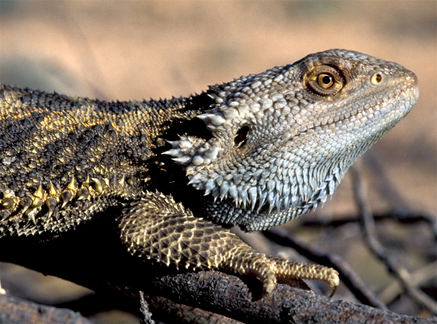 Photo of dragon clutching a dry branch in open sun shows fringed 'beard' on the neck.