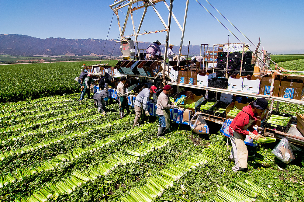 Photo of 13 farm workers collecting and boxing celery stalks during harvest. Hundreds of stalks lie in rows on celery tops.